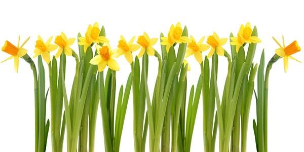 Bunga Dafodil